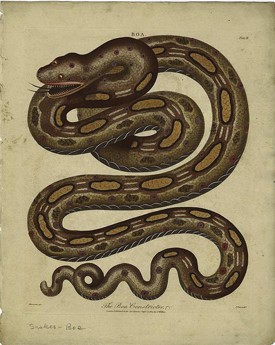 BoaConstrictor1800
